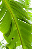 Banana Tree Leaf. Large green leaf of a banana tree royalty free stock images