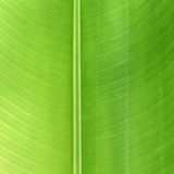 Banana Tree Leaf Stock Photos