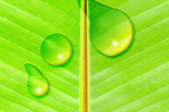 Banana Tree Leaf Stock Photography