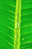 Banana tree leaf with raindrops Stock Photos