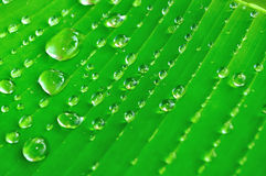 Banana tree leaf with raindrops Royalty Free Stock Images