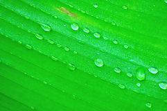 Banana tree leaf with raindrops Stock Photo