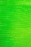 Banana tree leaf with raindrops Royalty Free Stock Photography