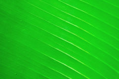 Banana tree leaf with raindrops Stock Images