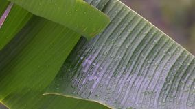 Banana Tree Leaf under Rain. Shot with Sony RX10 IV 25 fps 4k stock video