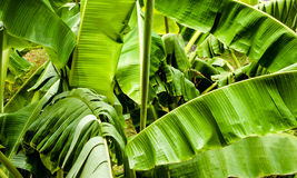 Banana tree leaves Stock Photography