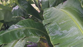 Banana Tree Leaves under Heavy Tropical Rain stock video