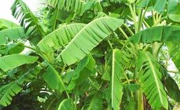 Banana tree. Banana leaves or banana tree on white background royalty free stock images