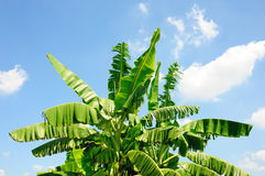 Banana tree. On light blue sky and clouds background Royalty Free Stock Photography
