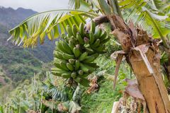 Banana tree at Madeira Island, Portugal Royalty Free Stock Image