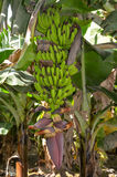 Banana Tree in Pakistan Sindh Region. Bunch of Bananas growing on the banana tree Royalty Free Stock Image