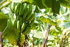 Banana Tree in Plantation Royalty Free Stock Image
