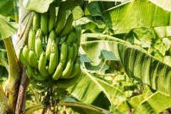 Banana Tree in Plantation Stock Photography