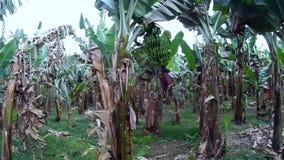 Banana tree plantation in egypt luxor stock footage
