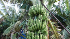 Banana tree on the plantation. Farming concept stock video