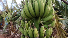Banana tree on the plantation. Farming concept stock footage