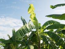 Banana tree plantation in fram with daylight and blu sky. Banana tree plantation in fram with daylight and blu sky royalty free stock photo