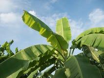 Banana tree plantation in fram with daylight and blu sky. Banana tree plantation in fram with daylight and blu sky stock photos