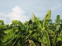 Banana tree plantation in fram with daylight and blu sky. Banana tree plantation in fram with daylight and blu sky stock images