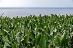 Banana tree plantation looking towards the Atlantic Ocean, La Pa stock photos