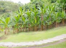 Banana tree Stock Images