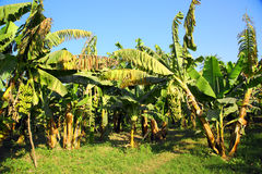 Banana tree plantation Royalty Free Stock Image