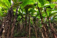 Banana tree plantation Royalty Free Stock Photos