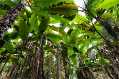 Banana tree plantation Royalty Free Stock Photos