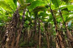 Banana tree plantation Royalty Free Stock Image