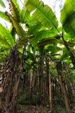 Banana tree plantation Royalty Free Stock Photo