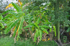 Banana tree plantations at the village Stock Image