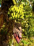 Banana Tree Plants Flower Fruit. Banana tree, plants showing fruit and inflorescence stock images