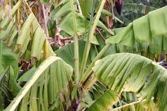 Banana tree in the rain Stock Photography