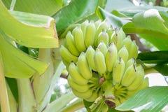 Banana on the tree. Raw banana from banana tree stock image