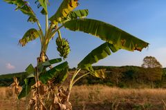 Banana tree with bunch of ripe banana grooving on it. Banana tree with ripe banana bunch grooving in wild. Cambodia, Banlung province Stock Photography