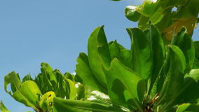 Banana tree sheets under bright sun on background of clear blue sky in Maldives. stock footage