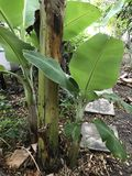 Banana tree. Banana suckers or banana shoots Stock Photos