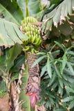 A Banana Tree Royalty Free Stock Photography