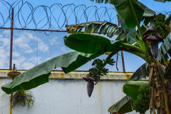 Banana tree surrounding by barbed wire with beautiful blue sky as background photo taken in Pekalongan Indonesia. Java Royalty Free Stock Photo