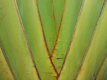 Banana tree texture Royalty Free Stock Photos