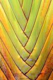 Banana tree texture Royalty Free Stock Images