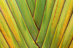 Banana tree texture Stock Photography