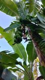 Banana tree, Merida, Mexico. Banana tree in the tropical garden of our rental home, Merida, Mexico stock photos
