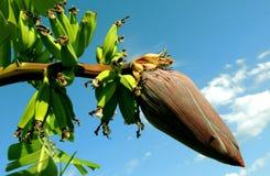 Banana Tree Under Blue Cloudy Sky Royalty Free Stock Photos