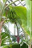 Banana tree Stock Photos