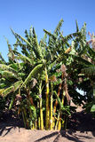 Banana trees. Beautiful banana trees against a vivid blue sky Royalty Free Stock Photos