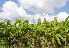Banana Trees. Group of Banana Trees in the Field Royalty Free Stock Image