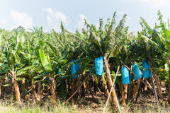 Banana Trees Stock Image