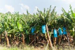 Banana Trees Stock Image