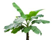 Banana trees isolated on white background. stock photos